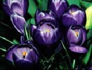 unknow artist Violet Iris oil painting picture wholesale